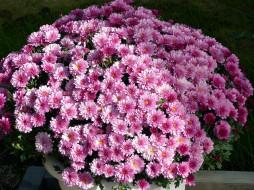 цветы, хризантемы, розовый