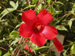 цветы, гибискусы, красный
