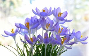 цветы, крокусы, сиреневые