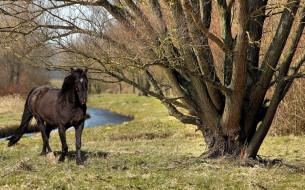 ручей, конь, вороной, деревья