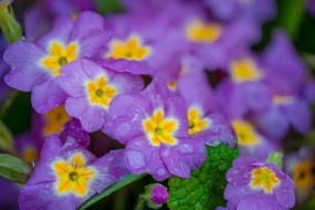 весна, цветы, примула, цветение, макро