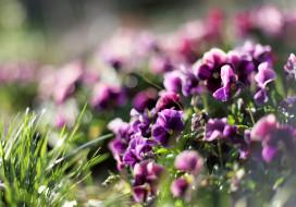 трава, анютины глазки, фиолетовые