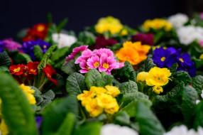 весна, примула, цветение, макро, цветы