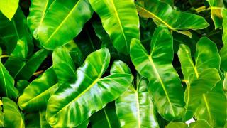 капли, листья