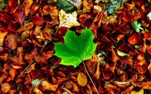 лист, осень, кленовый