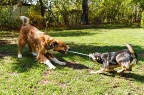 поляна, две, верёвка, боке, собаки, трава, солнце, деревья