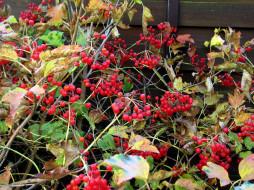 осень, листья, ягоды