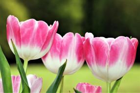 двухцветные, тюльпаны