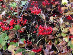 листья, осень, ягоды