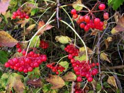 осень, ягоды, листья