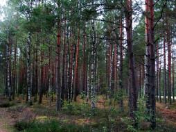 природа, лес, березки, сосны