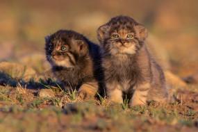кошки, животные, дикие кошки