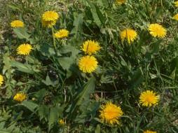 одуванчики, природа, цветы