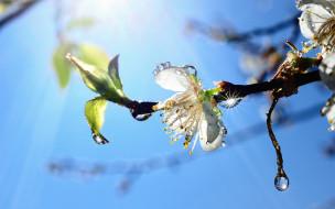 цветение, капли, небо, ветка