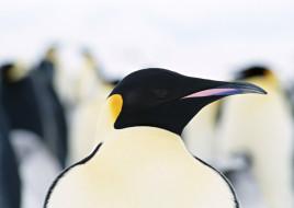 пингвин, голова