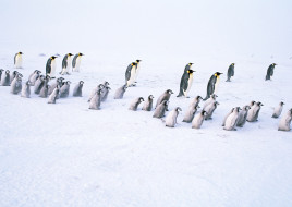 стая, пингвинята, пингвины, снег