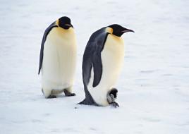 снег, лед, пингвины, пара, пингвиненок