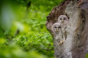 дерево, совы
