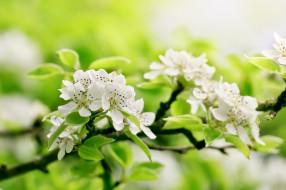 цветение, весна, листья, ветка