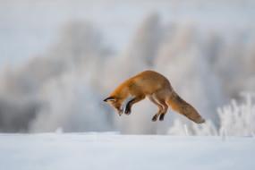 животное, рыжая, прыжок, Лиса