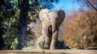 слон, уши, бивни