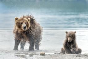 животные, хищники, млекопитающие, медведи