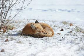 лиса, природа, зима