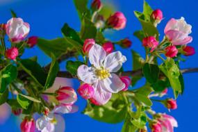 ветка, весна, яблоня, цветение