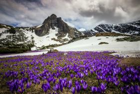 весна, крокусы, луг, горы, снег