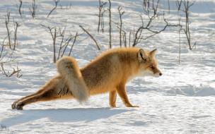 животные, лисы, лиса