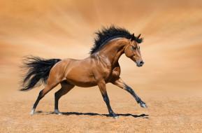 галоп, пустыня, песок, конь