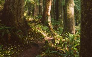 лес, стволы, тропинка, корни