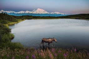 лось, животное, иван-чай, травы, озеро, холмы, снег, вершины, горы, пейзаж