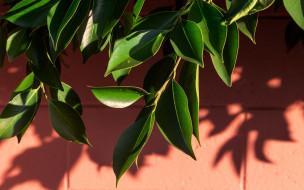листья, зеленые, ветка