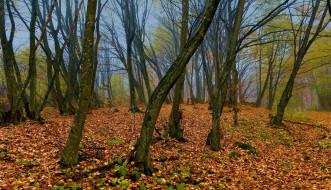природа, лес, осень, стволы, листопад