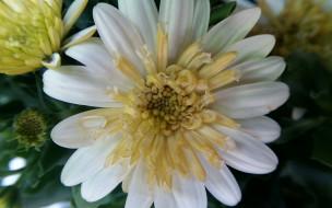 белая, хризантема