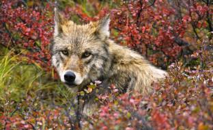 осень, кусты, волк