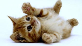котенок, рыжий