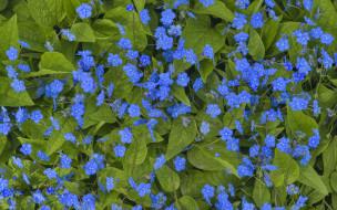 незабудки, синие, листья