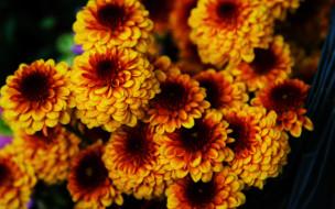 желтые, хризантемы