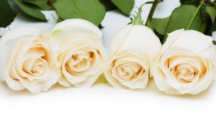 белые, листья, розы