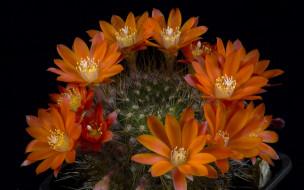 кактус, цветущий, оранжевые, колючки