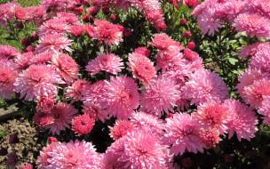 хризантемы, розовые