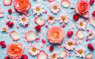 хризантемы, розы, лепестки, бутоны