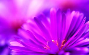 цветы, астры, розовый