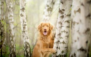 обои для рабочего стола 1920x1200 животные, собаки, собака, березы, лес, язык