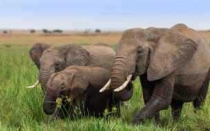 животные, слоны, африка