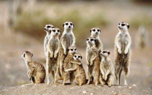 животные, сурикаты, семья