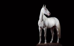 конь, белый