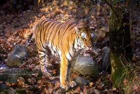 тигр, лес, листья, камни, осень